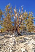Bristlecone Pines, White Mountains, California, USA Stock Photos