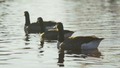 Canada geese on a lake Stock Footage