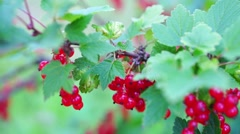 Redcurrant (Red Currant, Ribes rubrum) berries closeup Stock Footage
