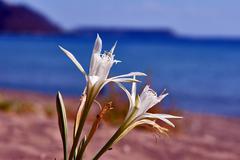 White agapanthus africanus flower on beach Stock Photos