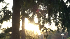 Golden Sun Rays breaking through a Spruce Branches moving at Wind Stock Footage