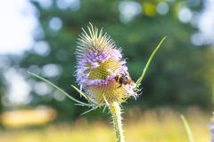 beautiful thistle in wild flower meadow with bee - stock photo