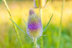 beautiful thistle in wild flower meadow - stock photo
