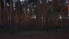 Forest trees in early morning sunshine - slow pan Stock Footage