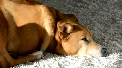 Dog falling asleep on a shag rug. Stock Footage