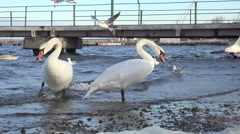 Swans, seegull feed on river bank 4k Stock Footage