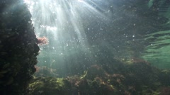 Sunlight illuminates red algae underwater in Black sea in slow motion Stock Footage