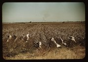 Day laborers picking cotton, near Clarksdale, Miss. Stock Photos