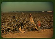 Day laborers picking cotton near Clarksdale, Miss. Delta Stock Photos