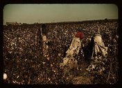 Day laborers picking cotton near Clarksdale, Miss. Stock Photos