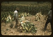 Cutting Burley tobacco and putting it on sticks to wilt before taking it into Stock Photos