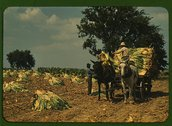 Taking Burley tobacco in from the fields, after it has been cut, to dry and c Stock Photos