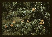 Peach trees in an orchard, Delta County, Colo. Stock Photos