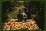 Hauling crates of peaches from the orchard to the shipping shed, Delta County Stock Photos