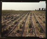 Bean fields, Seabrook Farm, Bridgeton, N.J. Stock Photos