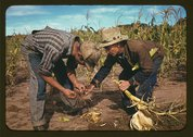 Jack Whinery and Jim Norris, homesteaders, looking at roots of stalk of corn, Stock Photos