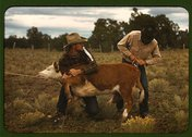 Tying a ribbon on a calf's tail was one of the feature attractions at the Pie Stock Photos