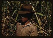 FSA borrower who is a member of a sugar cooperative, vicinity of Rio Piedras, Stock Photos