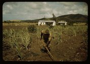 Farm Security Administration borrower cultivating his sugar cane field, vicin Stock Photos