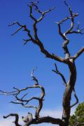 juniper snag and blue sky - stock photo