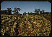 [Field of cotton] Stock Photos