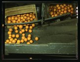 Automatic dumper at the co-op orange packing plant, Redlands, Calif Stock Photos