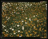 [Field of daisies and orange flowers, possibly hawkweed, Vermont] Stock Photos