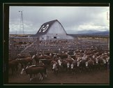 Cattle in corrals on ranch, Beaverhead County, Mont. Stock Photos