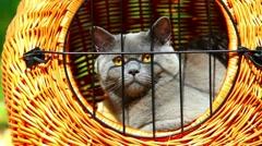 Gray British Shorthair cat portrait Stock Footage