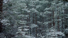 Snowfall between trunks of tall pines Stock Footage