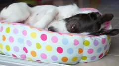 Funny Cute Dog Relaxing in Bed. Stock Footage