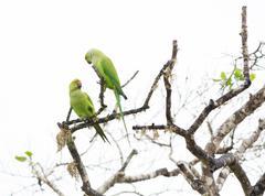 two rose ringed parakeet - stock photo