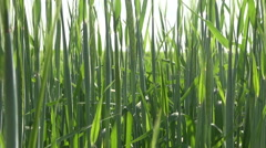 Young green agriculture  barley abstract background Stock Footage