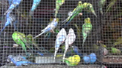 Cage with many multicolored budgerigars in Mumbai market, India Stock Footage