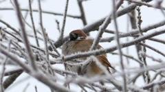 Eurasian tree sparrow, 60 fps Stock Footage