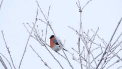 Bullfinch (Pyrrhula pyrrhula) in a tree, 4k Stock Footage