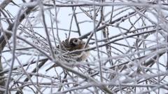 Eurasian tree sparrow Stock Footage