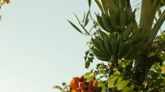 Green Bananas in tree Stock Footage