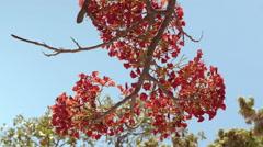 Flamboyant tree flowers Stock Footage