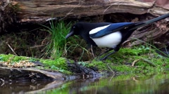 Magpie - pica pica Stock Footage
