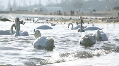 A flock of swans in the sea in slow motion small wave crashed into the shore Stock Footage