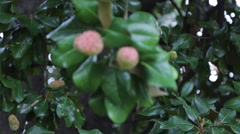 Magnolia Tree Fruit Stock Footage