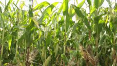 Corn in a cornfield before harvesting take 3 of 14 Stock Footage