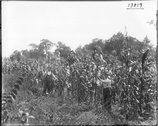 Men in T. A. McDill cornfield 1914 Stock Photos