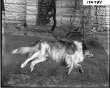 Dead dog 1916 Stock Photos
