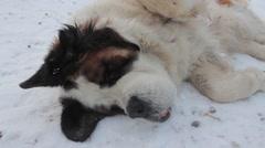 Saint Bernard dog Stock Footage