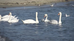 A flock of swans swimming in the sea Stock Footage