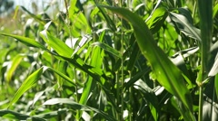 Corn in a cornfield before harvesting take 11 of 14 Stock Footage