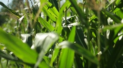 Corn in a cornfield before harvesting take 12 of 14 Stock Footage