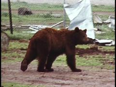 Bears In Captivity on Circus Grounds - stock footage